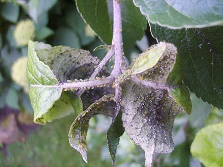 apfelbaum-krankheiten-schaedlinge