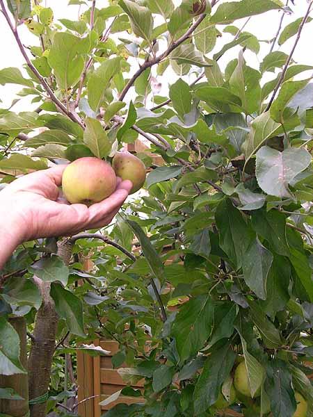 apfelbaum-pflanzen-garten-sorten