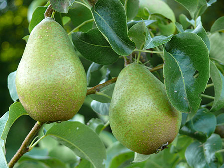 birnenbaum-garten-pflanzen