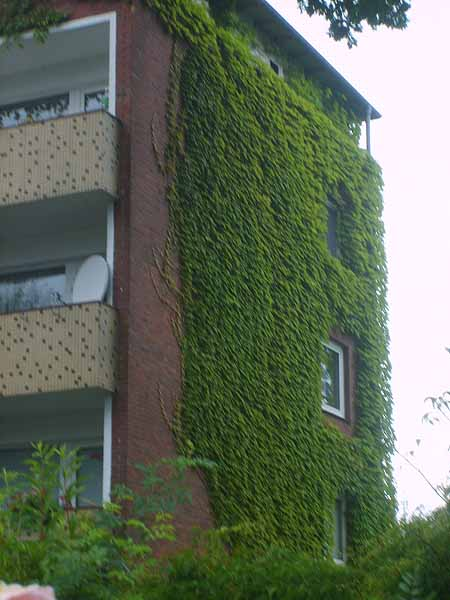 efeu-hauswand-immergruen-kletterpflanzen