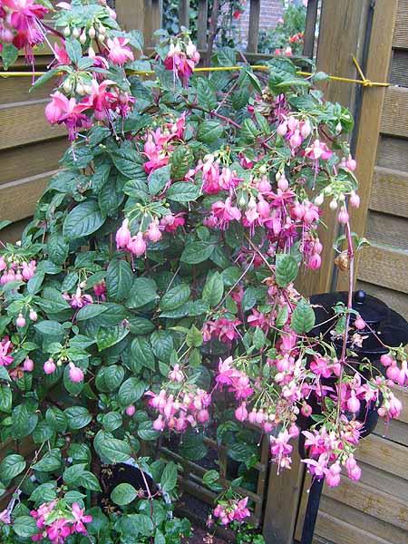 fuchsien-garten-pflanzen-tipps