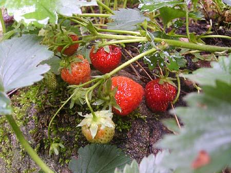 gemuesebeet-erdbeeren-anbau