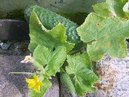 gemuesegarten-gurke-anlegen