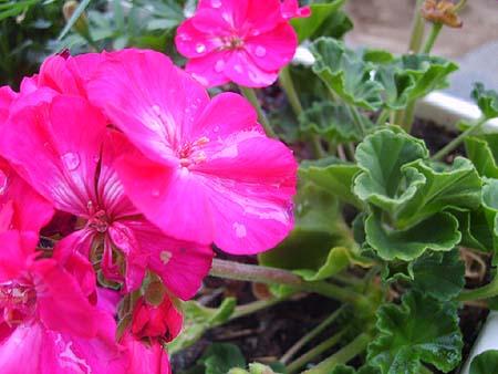 geranien-balkon-garten-pflanzen