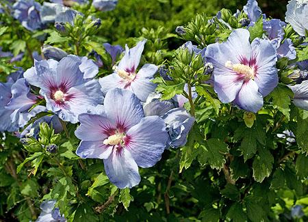 hibiskus blumen im garten pflanzen - wann schneiden / beschneiden, Garten und bauen