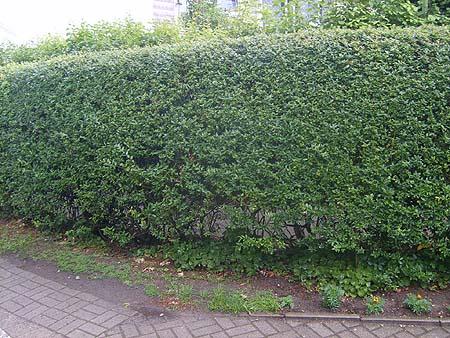 blühende, schnellwachsende, immergrüne hecke im garten pflanzen, Garten und Bauen