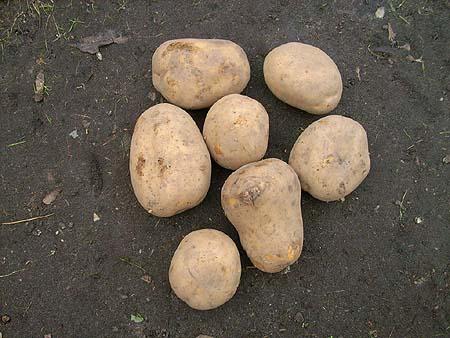 kartoffeln-anbauen-garten