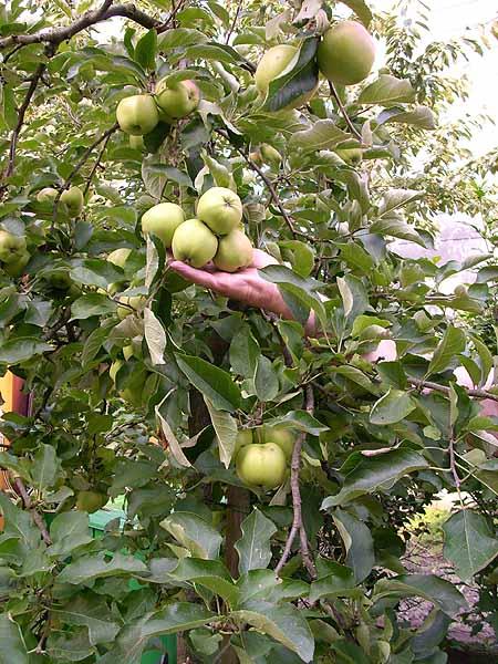 obstbaum-apfel-garten-anbauen