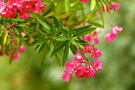 oleander-garten-pflanzen