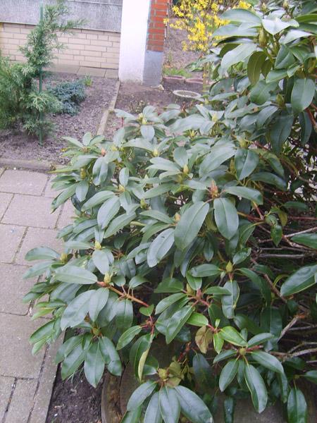 rhododendron-garten-pflanzen