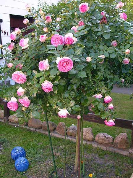 rosen-pflanzen-schneiden-pflege