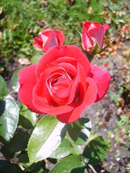 rosen-sorten-rote-bodendecker