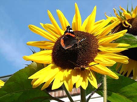 sonnenblumen-pflanzen-pflegen-garten