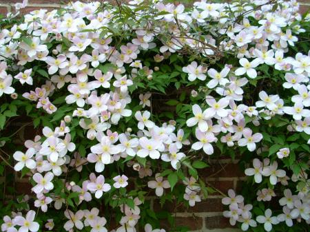 Klettergerüst Für Pflanzen : Clematis pflanzen schneiden und pflegen mit rankhilfe winter tipps