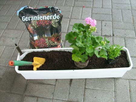 wann kann man geranien pflanzen