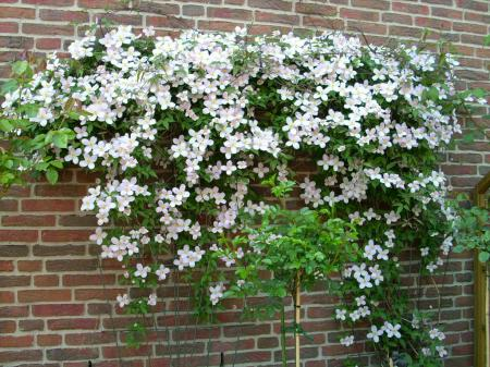 Clematis Pflanzen, Schneiden Und Pflegen Mit Rankhilfe - Winter Tipps Clematis Kletterpflanze Tipps Pflegen